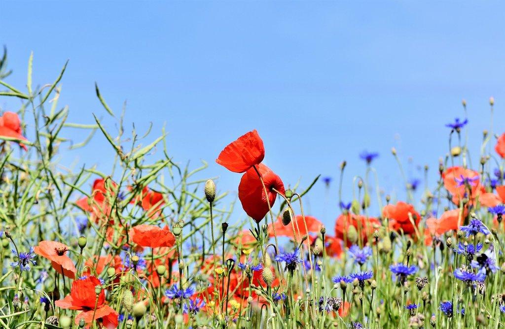 poppy-3441348_1920.jpeg