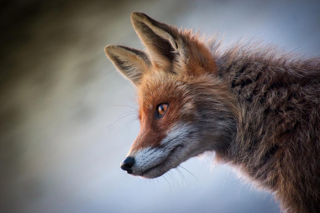 fox-4589927_1920.jpeg