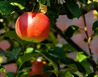 apple-tree-429213_960_720.jpeg